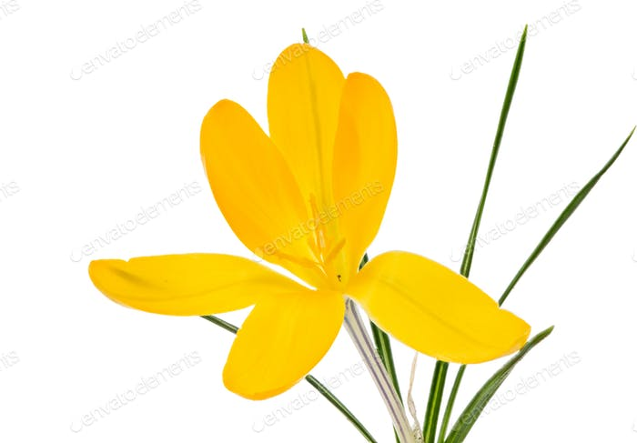 Isolated yellow crocus flower blossom