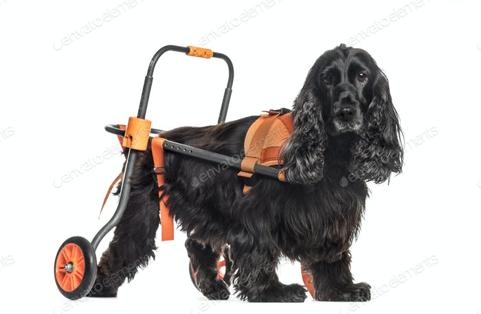 dog in a wheelchair, English Cocker Spaniel (8 years old)