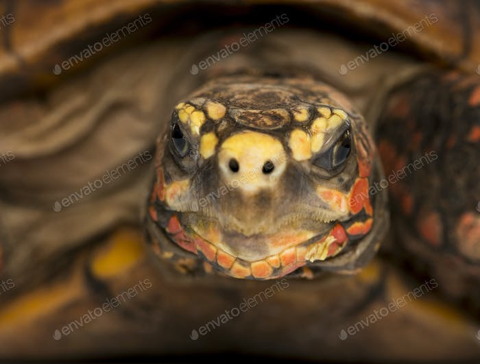 Close-up of a Red-footed tortoise facing, Chelonoidis carbonaria