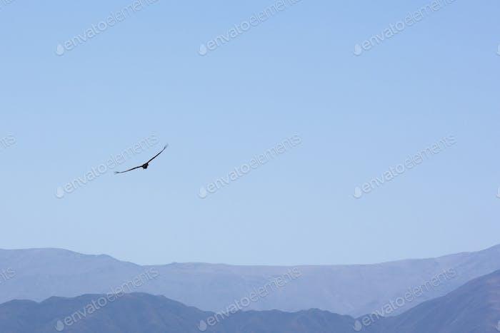 Condor flying against a blue sky