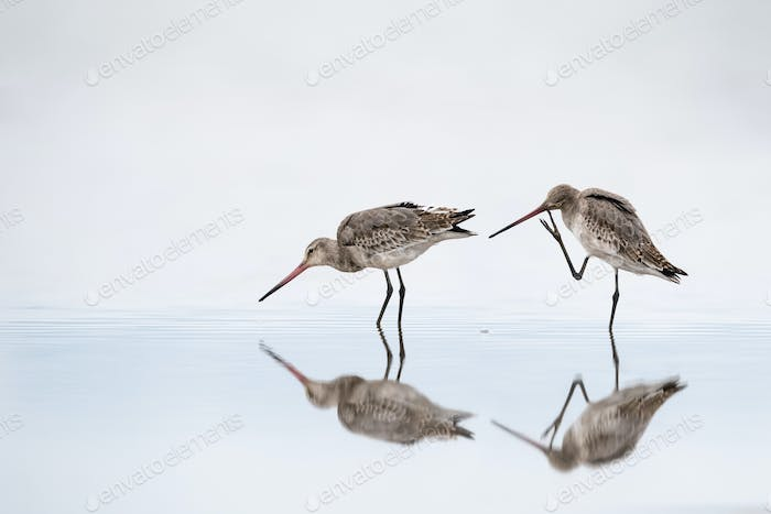 lively black tailed godwit in water with beautiful reflection
