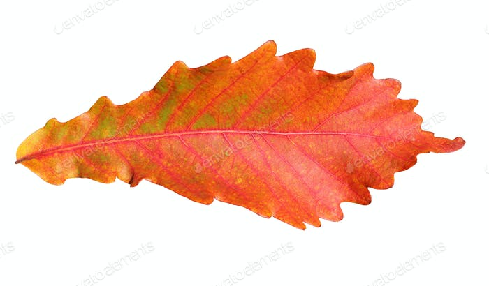 Close-up of  autumn oak leaf on white