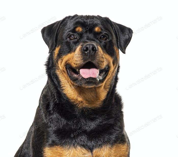 Nahaufnahme eines glücklichen Rottweiler-Hundes, isoliert auf weiß