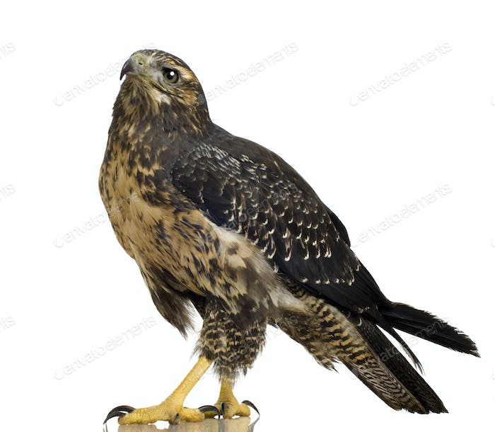 Young Black-chested Buzzard-eagle () - Geranoaetus melanoleucus