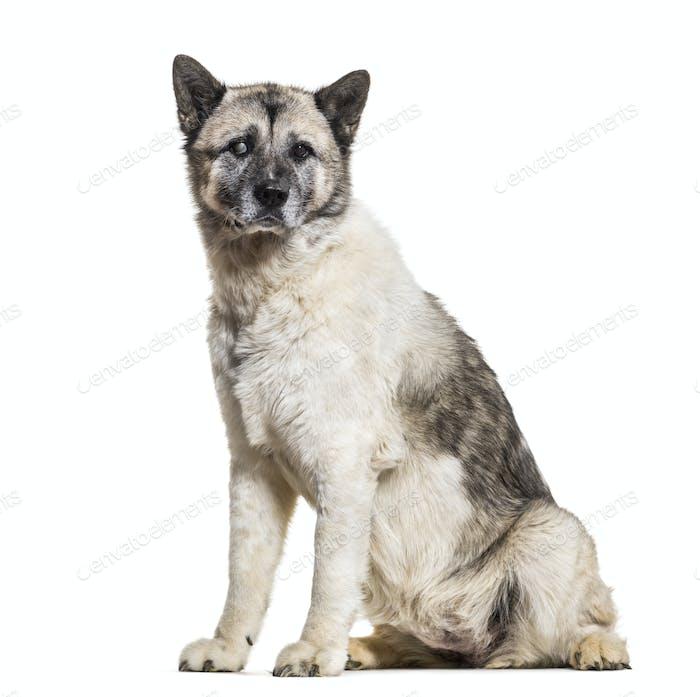 Akita Inu dog, 13 years old, sitting against white background
