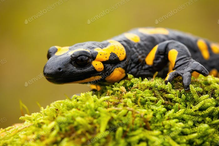 Close-up of a fire salamander crawling on a mossy tree trunk