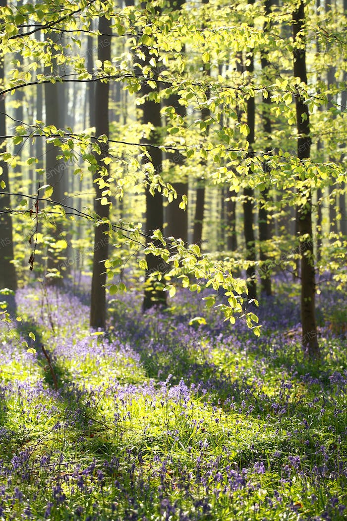 sunny beech forest with flowering bluebells