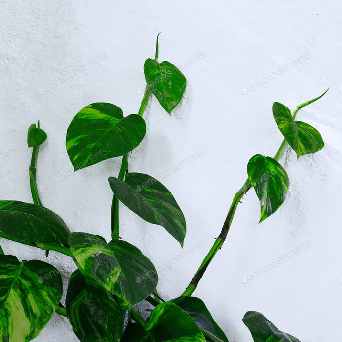 Plant on the white wall. Minimal green
