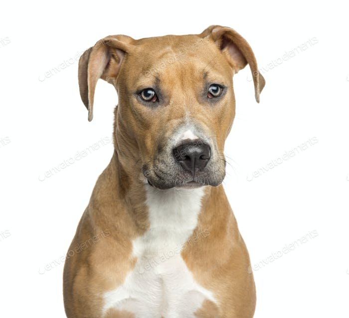 Close-up of an American Staffordshire Terrier, 8 months old, isolated on white