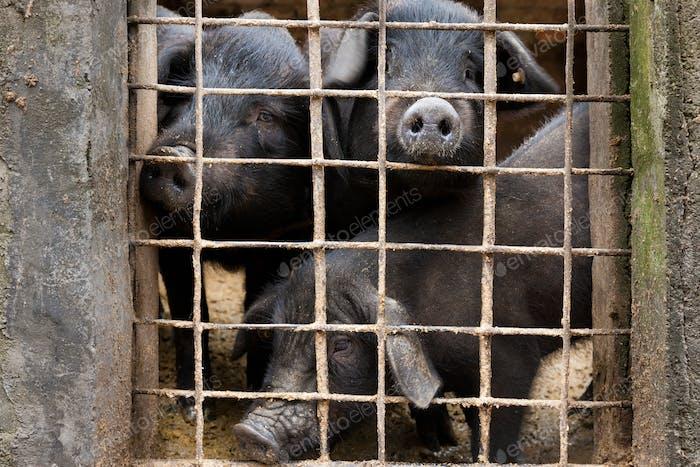 Livestock pigs, Yuanyang, China