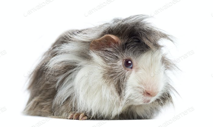 Peruvian Guinea Pig, isolated on white