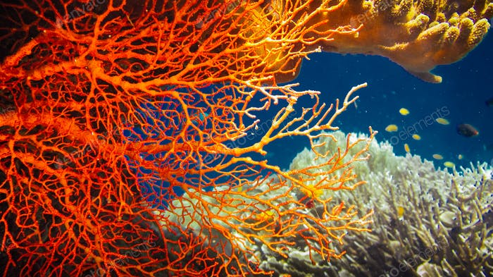 Colorful Red Hard Corals and some Coral Fish around on Kri, Raja Ampat, Indonesia