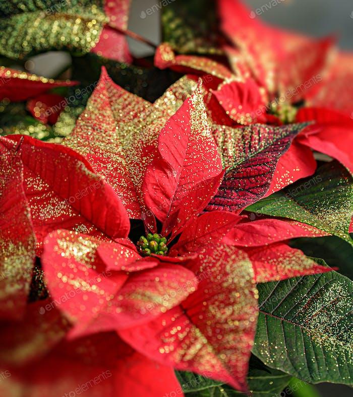 Glittering red poinsettia