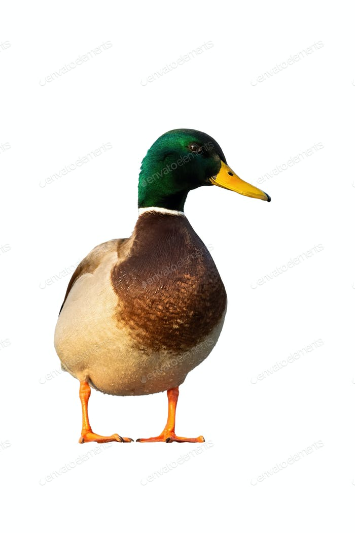Male mallard standing from front view in vertical composition isolated on white