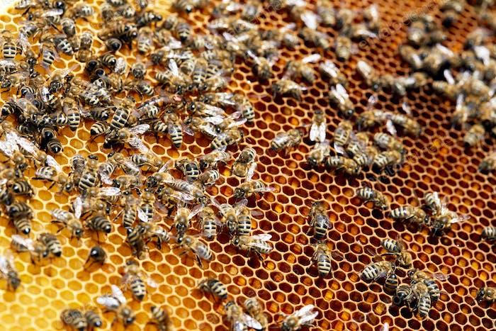 Bienen auf goldener Wabe