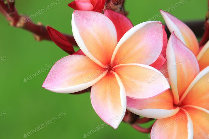 Pink plumeria flower on plant
