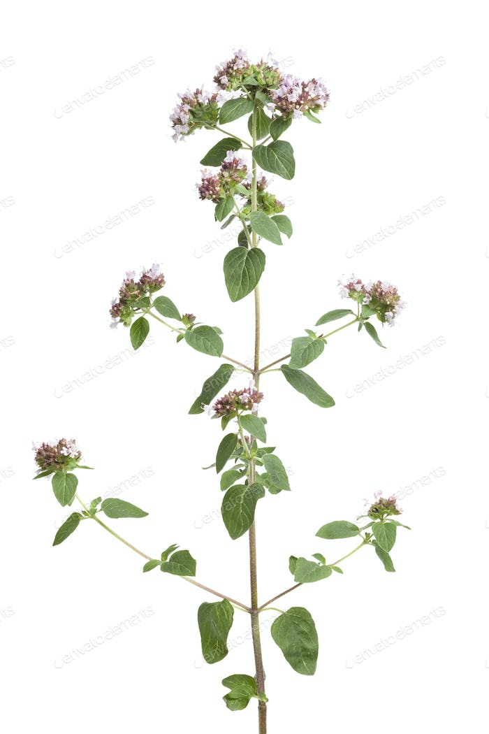 Fresh flowering oregano