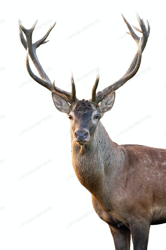 Close-up red deer stag head with antlers in summer isolated on white background