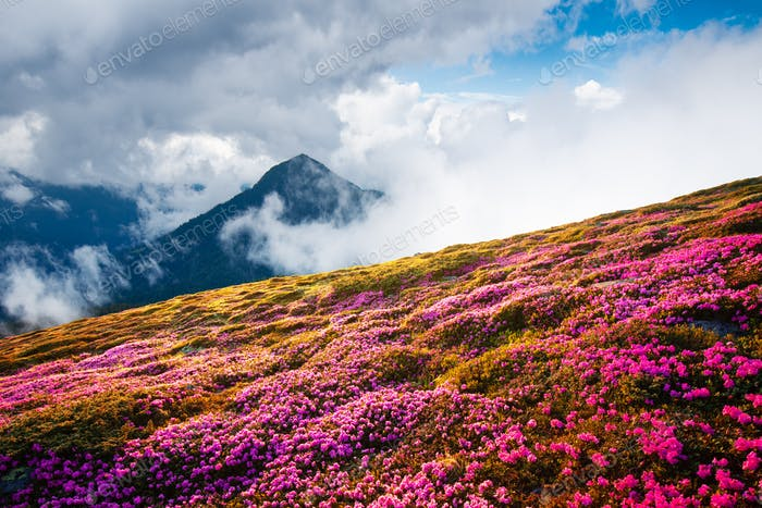 Magical landscape with charming pink rhododendron flowers