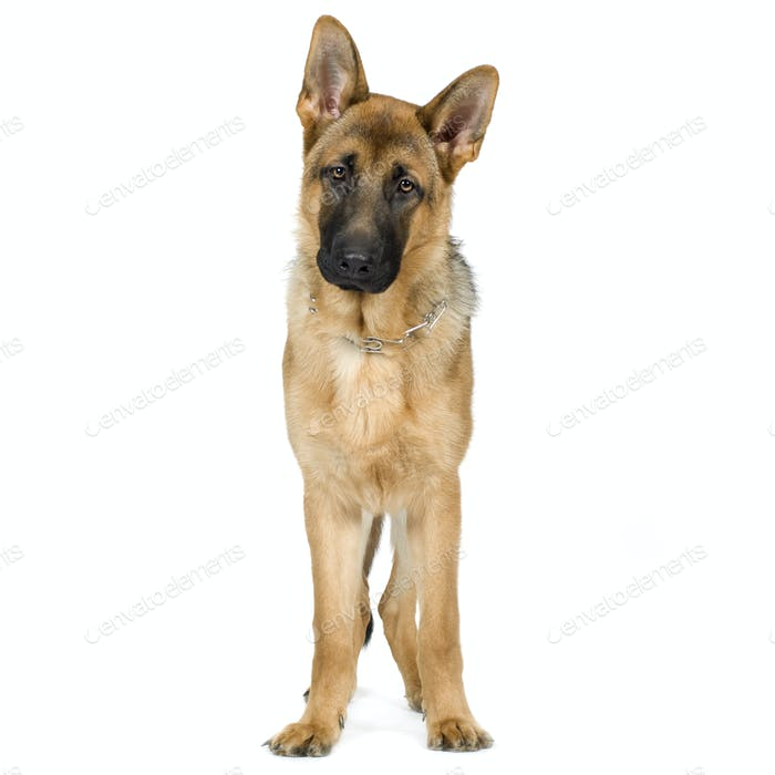 german shepherd (7 months)/ alsatian, police dog