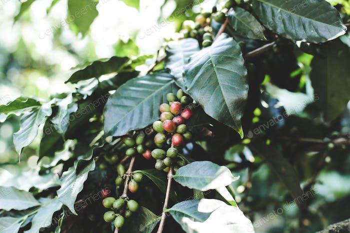 Coffee berry ripening