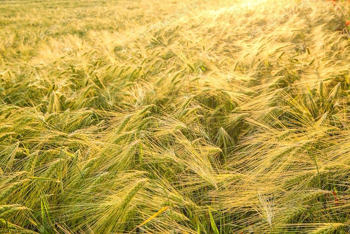 Weizenfeld und sonniger Tag