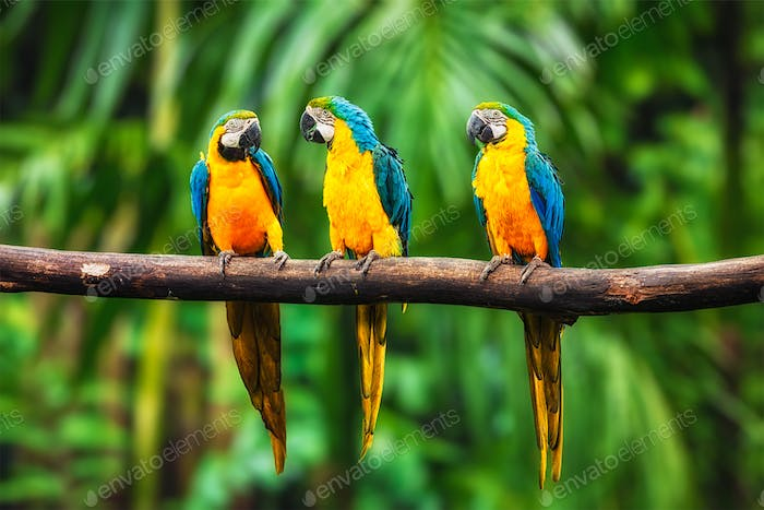 Blue-and-Yellow Macaw in forest
