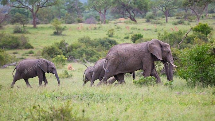 A herd of elephant, Loxodontaafricana, walk passed lion, Panthera leo.