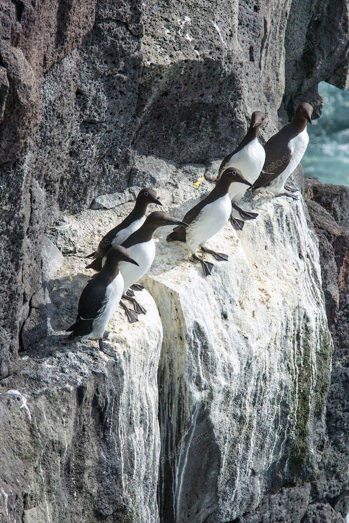Flock of Seabirds seen in Iceland