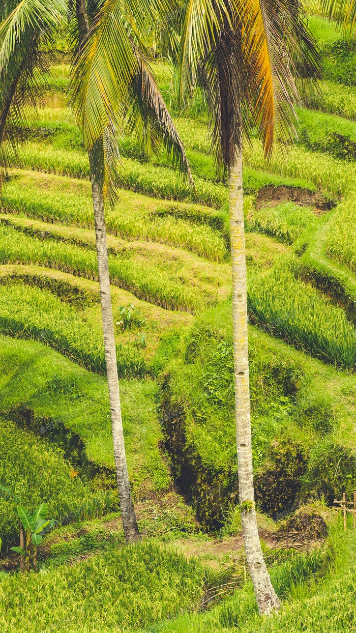 Close up of Beautiful Huge Palm Tree in Amazing Tegalalang Rice Terrace fields, Ubud, Bali