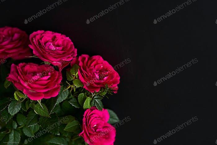 Frühlingsblume Hintergrund von Rosen