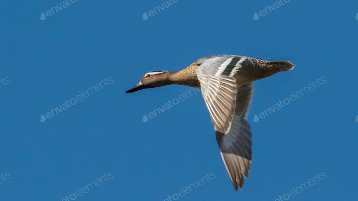 Wild ducks. Flock of birds in flight against a sky.