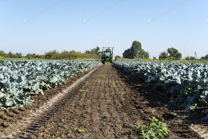 Tractor in broccoli farmland. Big broccoli plantation. Concept f