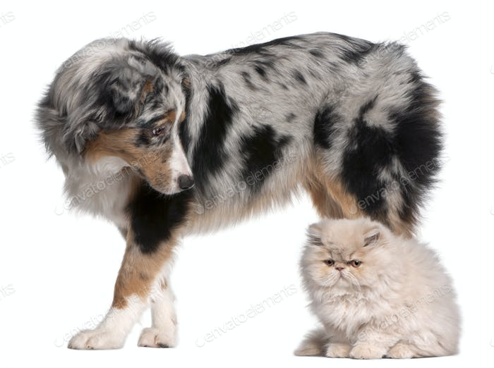 Australian Shepherd dog, 6 months old, looking at Persian cat in front of white background