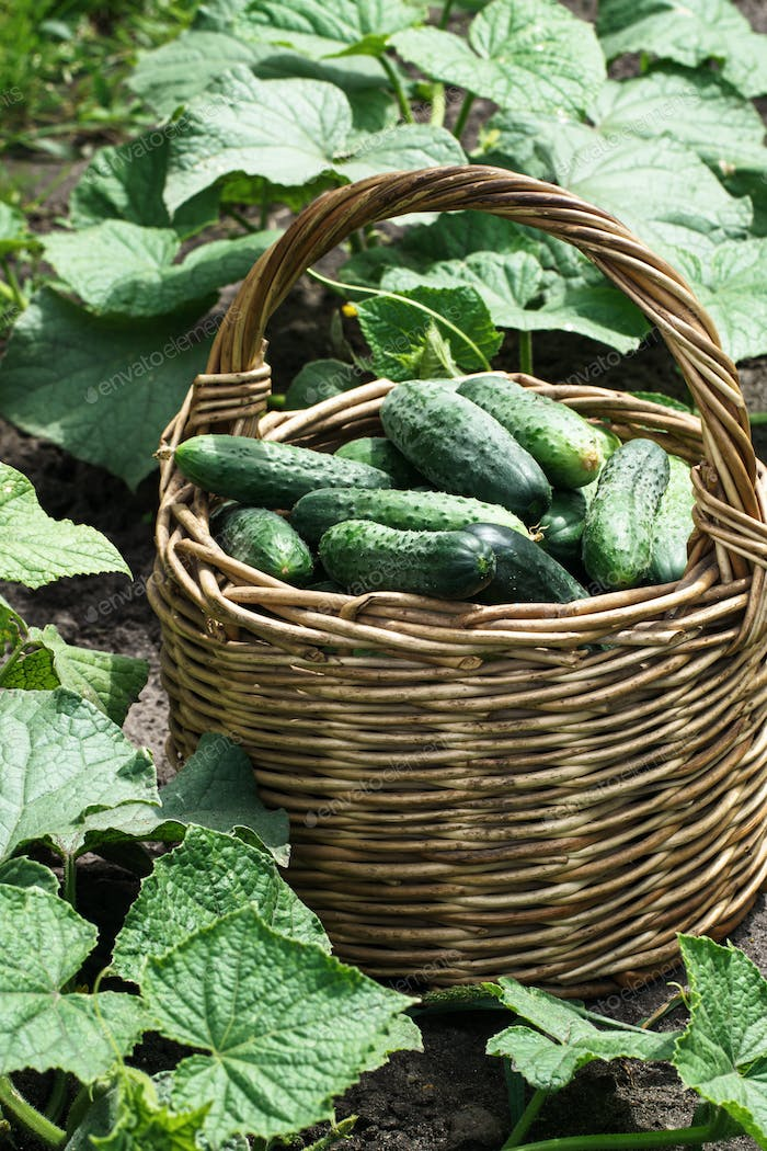 Cucumbers in basket on farm bed