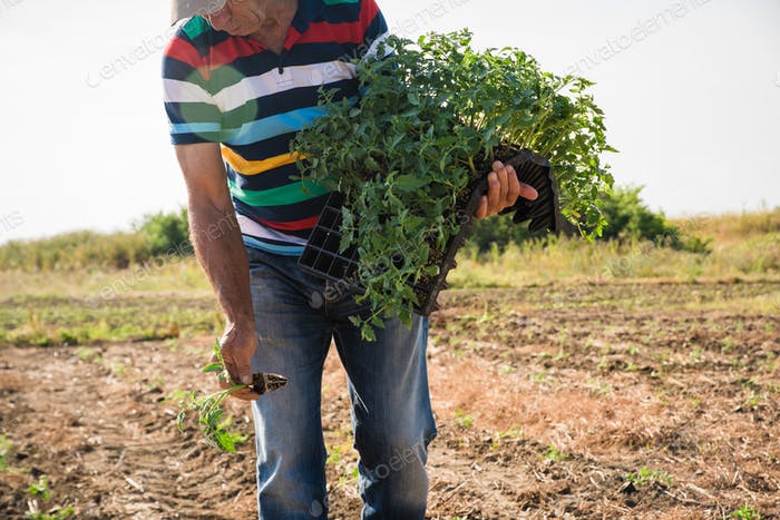 Man farmer planting young tomatoes plants