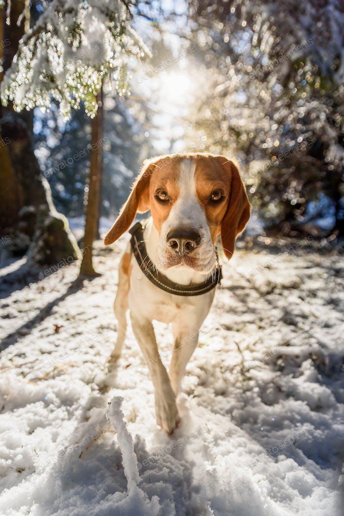Beagle dog walks in snowy sunny forest