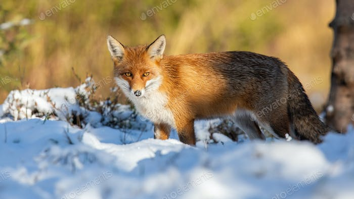 Red fox watching on white snow in winter nature
