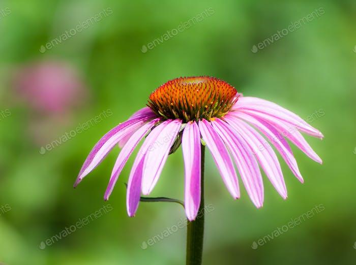 Echinacea purpurea blossom