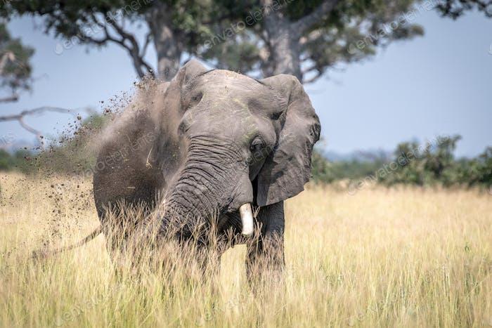 Big Elephant bull taking a dust bath.