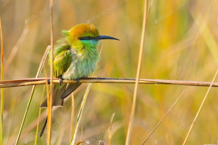 Green Bee-eater, Royal Bardia National Park, Nepal