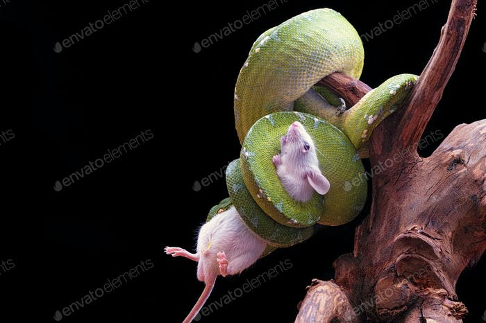 Green Snake eating a Mouse