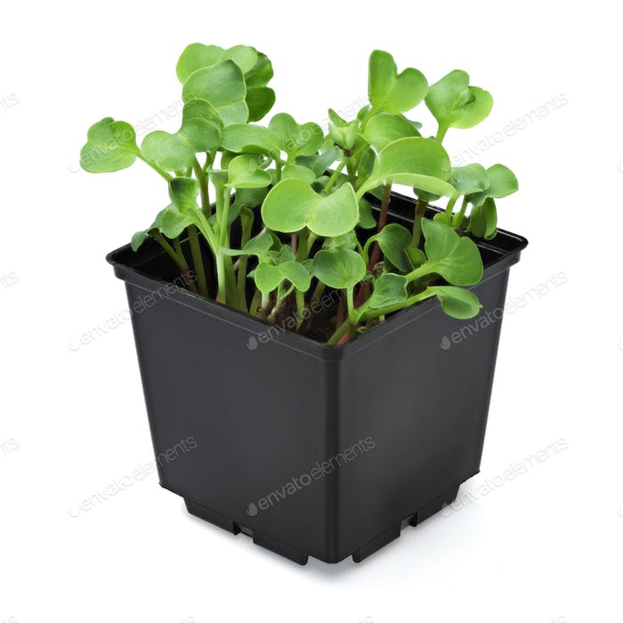 Radish microgreen in a black pot isolated on white background.
