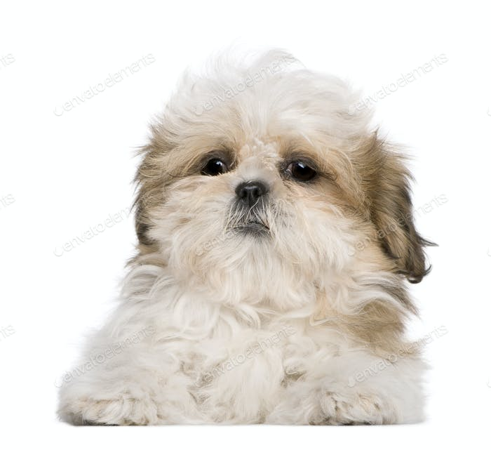 Shih Tzu puppy, 3 months old, lying in front of white background