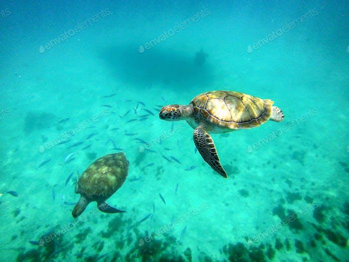 Sealife. Sea turtles swimming underwater