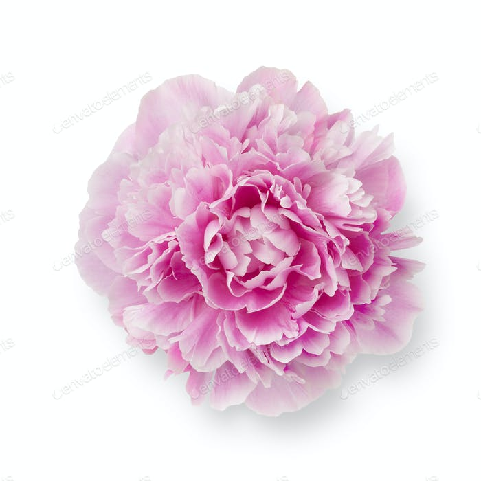 Single fresh pink peony flower