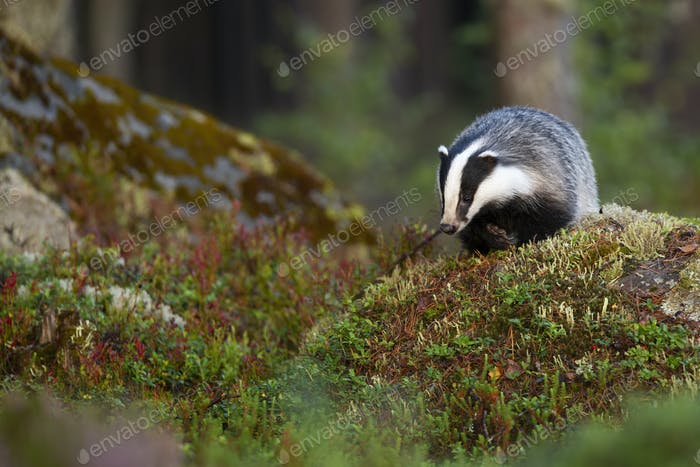 European badger searching for food and approaching on rocks in forest