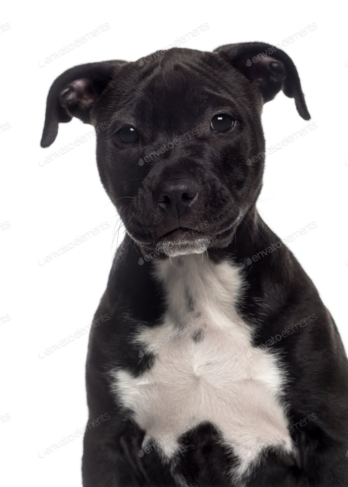 Headshot of a American Staffordshire Terrier puppy (3 months