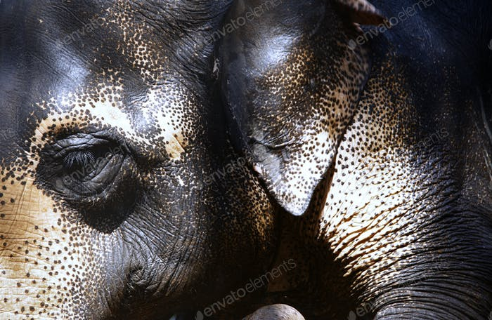 Close-up view on Indian Elephant
