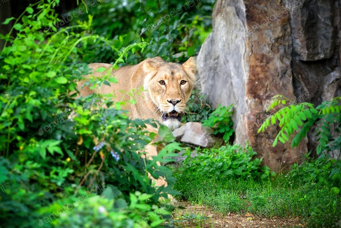 Lioness (Panthera leo) walking though grass while hunting for fo